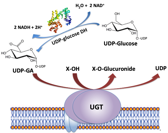 UGT Reaction